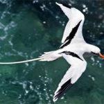 bermuda-longtails-bermuda-wildlife